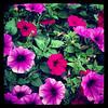 2013-07-04 - Flower pot at Cocker Park in Westlake, OH, USA