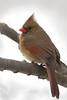 CardinalFemale