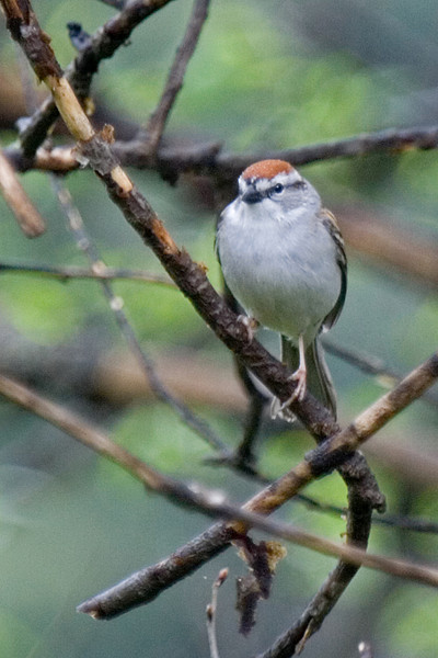 Chipping sparrow copy