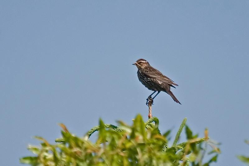 Red Winged Blackbird Female