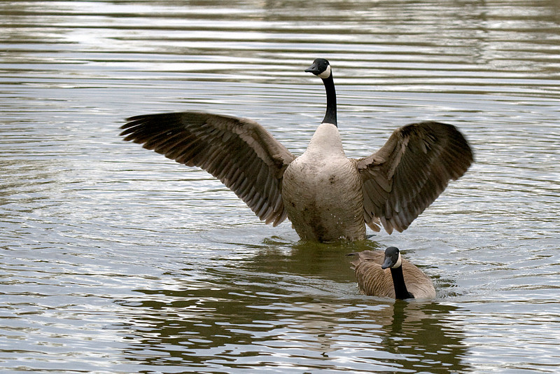 Canada Geese mating rituals