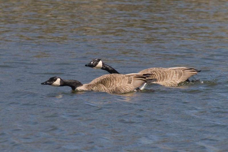 Geese-Mating Pair