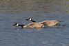 Geese-Mating Pair