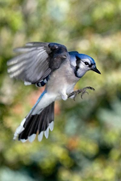 Blue Jay In Flight