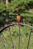 Robin On Wheel