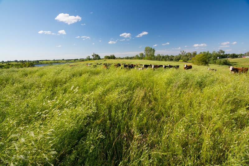Biomass is conserved using this grazing method as well.  As the vegetation is trampled, some of the biomass is recycled back into the ground and nutrients are also returned to the soil via manure.  These natural processes are similar to the way bison used to graze the land and the result is a healthy prairie ecosystem full of wildlife and native plant species.