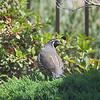quail-1