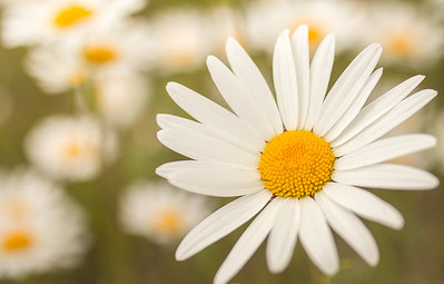 Oxeye Daisy { leucanthemum vulgare }