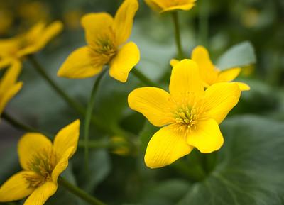 Marsh Marigold {caltha palustris}