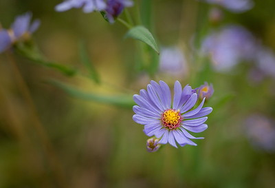 Smooth Aster {symphyotrichum leave}