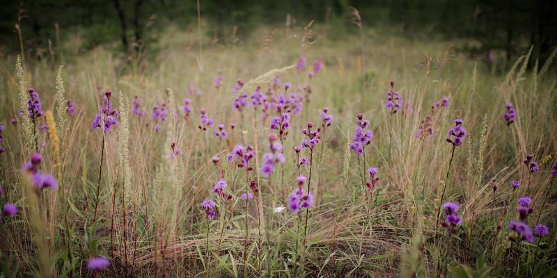 2019_07_31 wild bergamot, bluberry fealbane harebells snapdragon_107