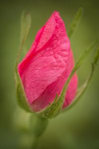 Prickly Rose {rosa acicularis}