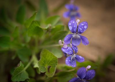 Northern Bog Violet {viola nephrophylla}
