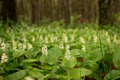 Wild Lily of the Valley or Canada Mayflower {maianthemum canadense}