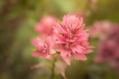 Common Red Paintbrush { castilleja miniata }