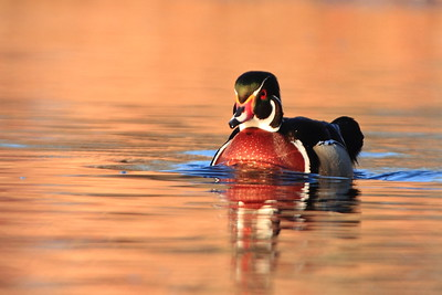 Wood Duck- St. Francis River, Sherburne NWR