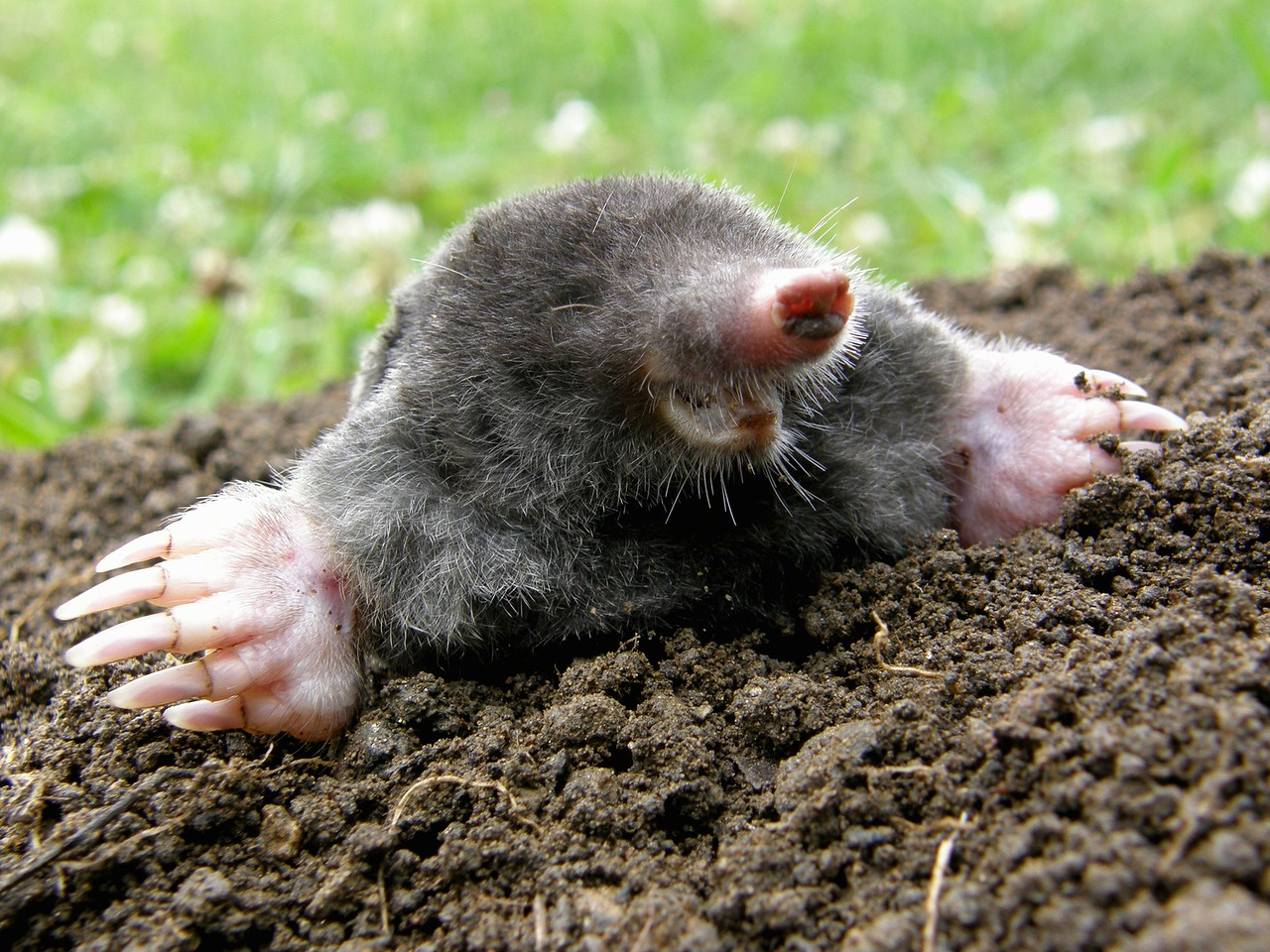Laughing Mole