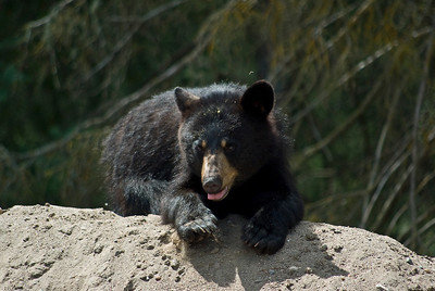0708 Bear Nipigon-2