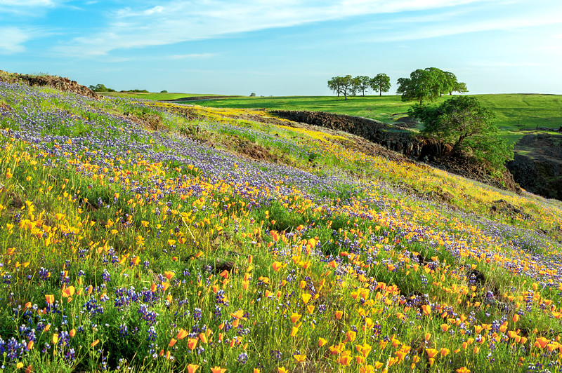 Poppies and Lupine, North Table Mountain Ecological Reserve, Butte County, CA