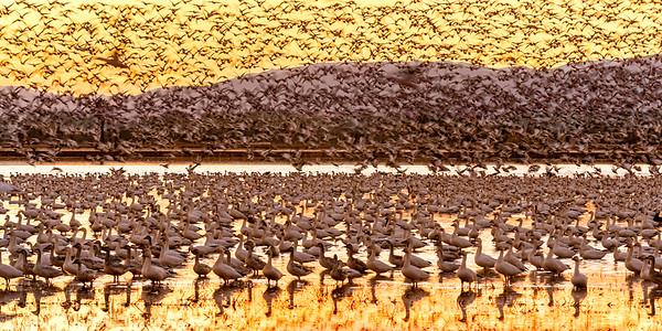 Snow Geese, Sunset Flight, Glenn County, CA