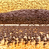 Snow Geese, Sunset Flight, Glenn County, CA