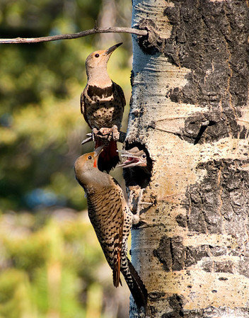 Red-Shafted Flickers in Aspen Tree, Lassen County