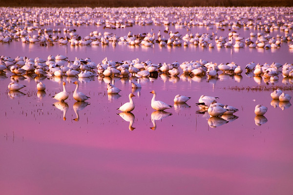 Snow Geese after Sunset, Sacramento National Wildlife Refuge, Willows, CA