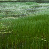"Green Waves of Reeds? Lacks the Poetry of ""Amber Waves of Grain"", But Just as Beautiful"