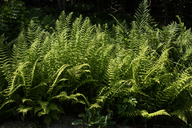Another Fern