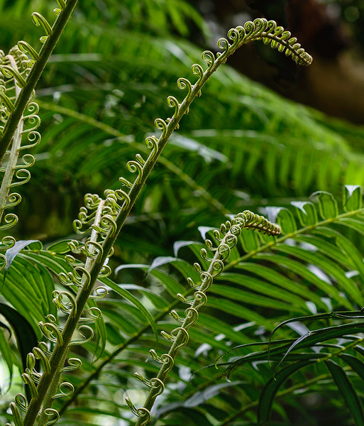 Young Ferns Unfurling. Taken Near Manoa Falls (Honolulu) in June 2015