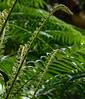 Young Ferns Unfurling. Taken Near Manoa Falls (Honolulu) in June 2015