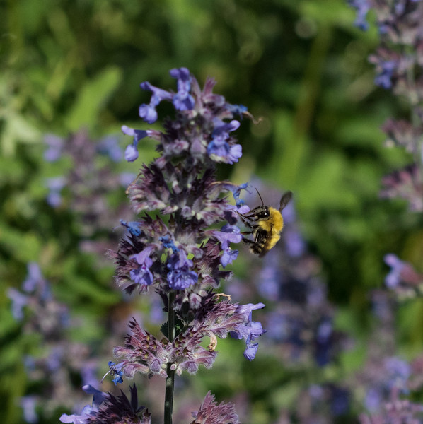 Bee at Jordon Pond