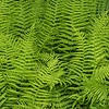 Fern in Nancy Green