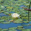 Pond Lilly in Acadia National Park