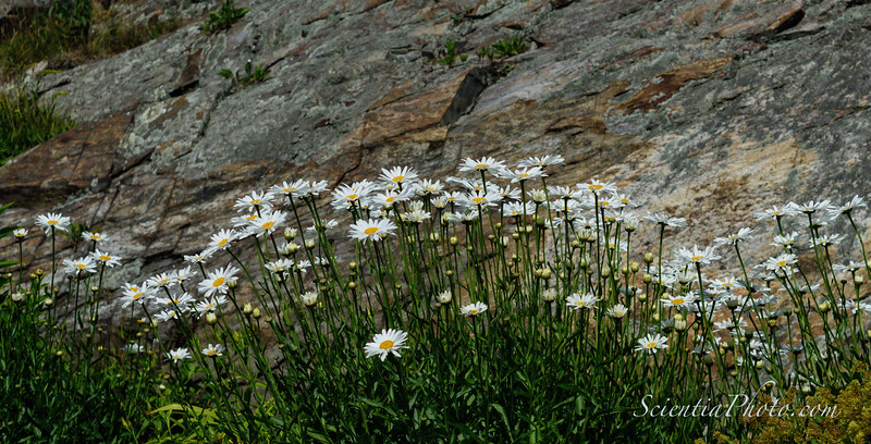 More Flowers at the Portland Head Lighthouse