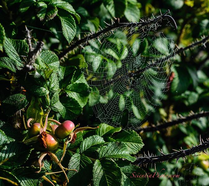 Rose Hips, Spider Webs & Dew Droplets
