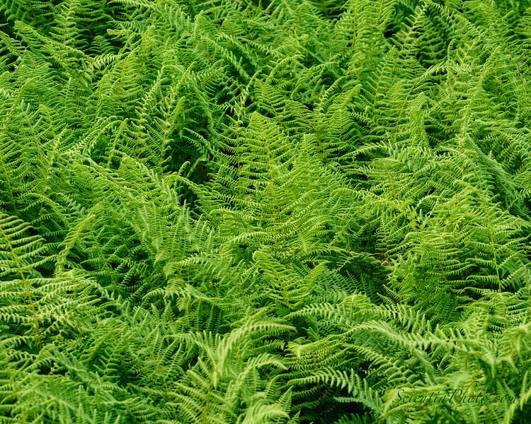 Ferns at Sand Beach