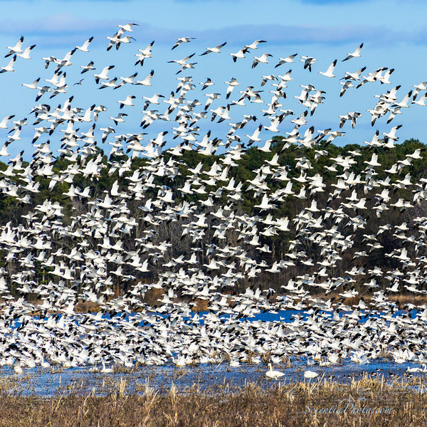 Snow Geese Take Flight When the Eagles Approached