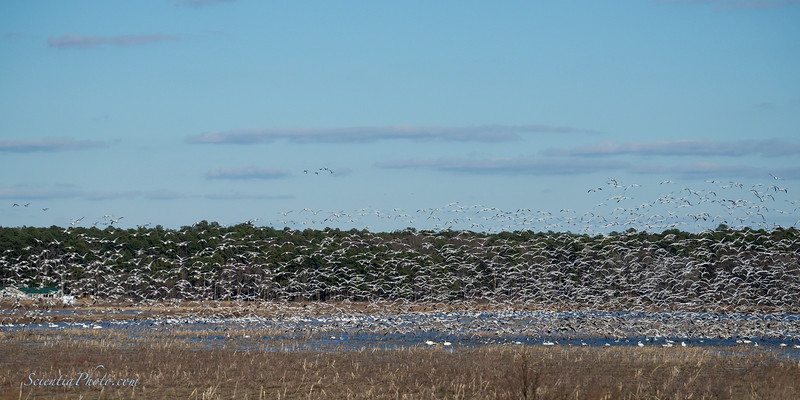Five Image Sequence of the Snow Geese Taking Flight - Again