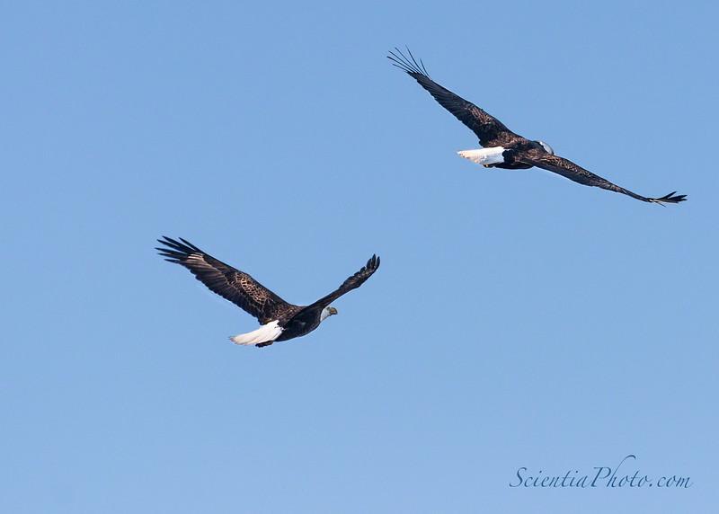 Bald Eagles in Flight