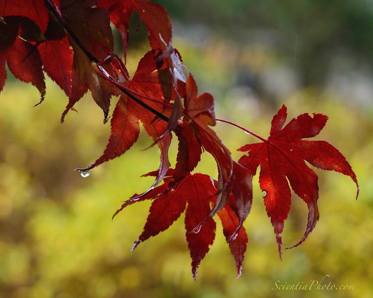 Raindrops on Japanese Maple (Riderwood, MD)
