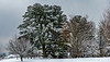 Image 5 White Pine in the Snow