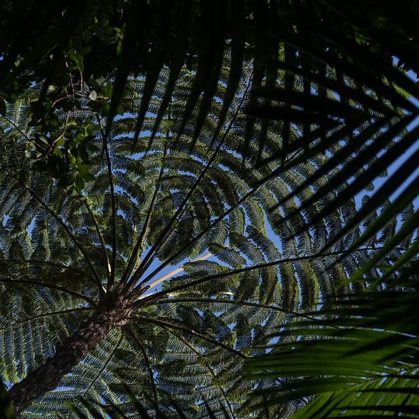 10 Palm Tree Canopies - Hamakua Coast, the Big Island