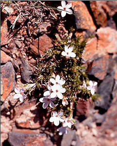 An early Spring blossoming on the rocky shore of a glacial lake high in the Sierra Nevada, the John Muir Wilderness.
