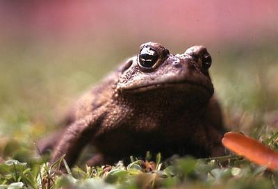 Toads invade my campsite: John Muir Wilderness, Sierra Nevada. (Summer 1973)