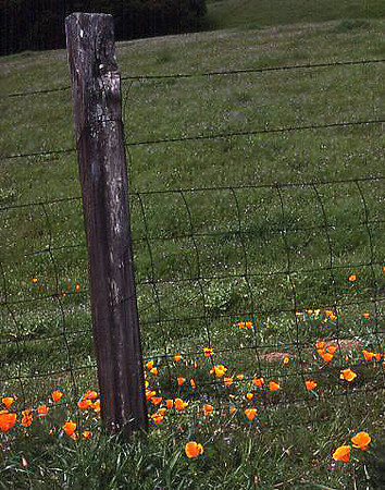 California Poppies growing along a fence line in the Berkeley Hills (Oakland, 1978).
