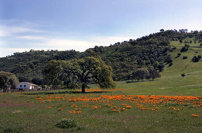 A field of California Poppies blooms on a farmstead in the Berkeley HIlls, 1977.