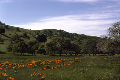 California Poppies flourishing in a meadow in the Berkeley Hills (Oakland, 1973).