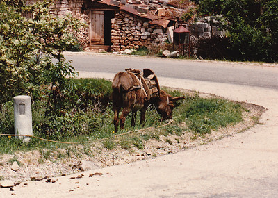 A local farmer's donkey tethered to a tree at a bend in the road, Laconia Province, Peloponnesus.