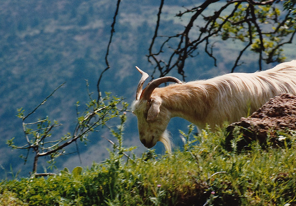 A domestic goat munching roadside greenery on the road to Mystras.